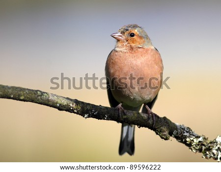 Male Chaffinch perched