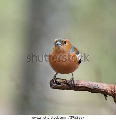 Male Chaffinch perching on a tree branch
