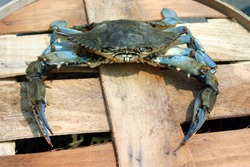 Male Cheasapeake Blue Crab on a wooden barrel