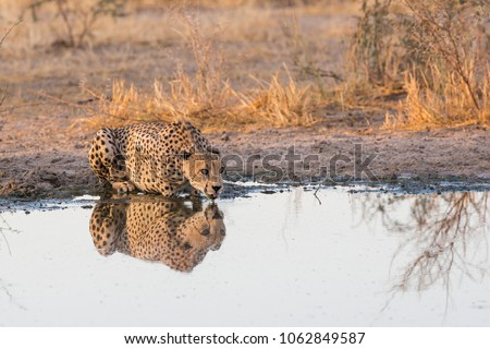 Male Cheetah at Tau Pan, Central Kalahari, Botswana