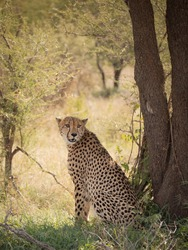 Male cheetah resting under a tree in the Kruger National Park