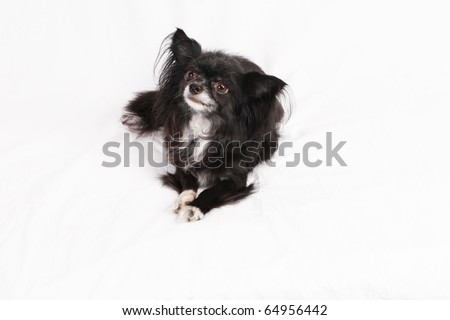 Male Chihuahua named oreo - stock photo