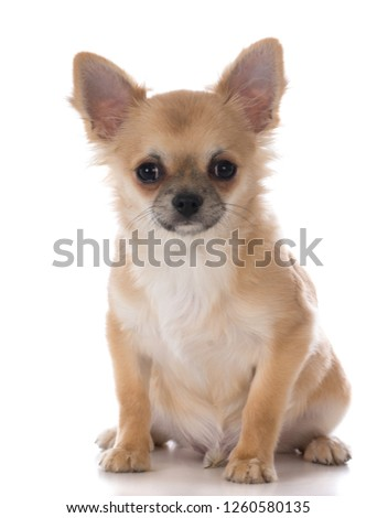 male chihuahua puppy sitting on white background