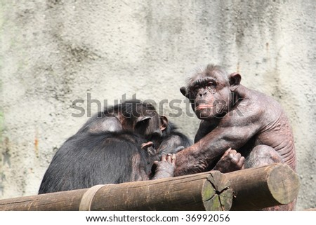 Male Chimpanzee and is Harem