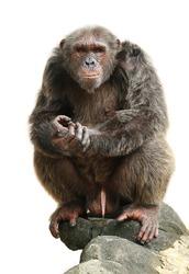 male chimpanzee isolated on white background