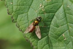 Male Chloromyia formosa on a leaf. Family: Soldierflies (Stratiomyidae). In a Dutch garden June.
