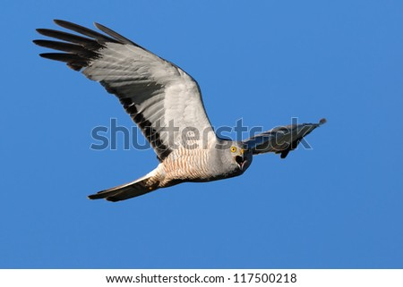 Male Cinereous Harrier (Circus cinereus) screaming while looking at camera in flight. Patagonia, Argentina, South America.