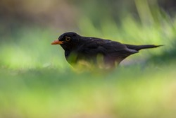 Male common blackbird (Turdus merula) eating from the ground and hiding in grass in an ecological garden with green background and looking at the camera
