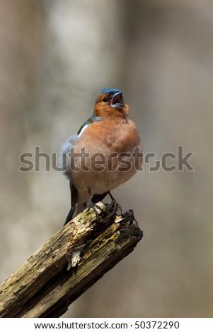 Male Common Chaffinch (Fringilla coelebs) perching stump. Singing bird.