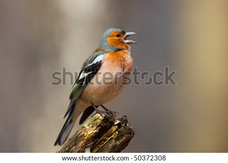 Common Chaffinch Fringilla coelebs perching stump. Singing bird