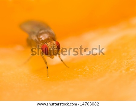 Male common fruit fly (Drosophila Melanogaster) doing what fruit flies do best - enjoying its fruit (apple)