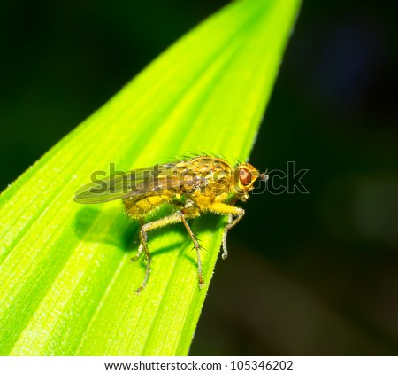 Male common fruit fly (Drosophila Melanogaster) sitting on a blade of grass with green foliage background