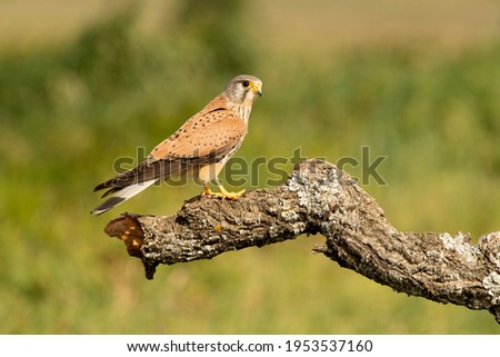 Male Common kestrel at his favorite perch in the late afternoon lights Stock fotó ©