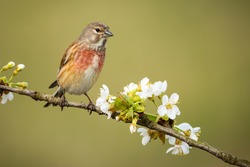 Male common linnet, linaria cannabina, sitting on flourishing tree twig with white flowers in spring nature. Little song bird with red breast and brown body resting from front view with copy space.