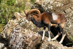male common mouflon (Ovis aries musimon) in mating season in Marbella. Andalusia, Spain
