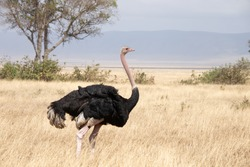 Male Common Ostrich (Masai / North African Ostrich) taking its turn guarding the nest during the dry season on the African Savannah - Ngorongoro Conservation Area, Tanzania.