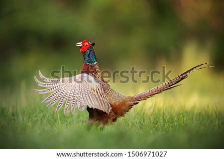 Male common pheasant, phasianus colchicus rooster showing off. Cock with wings wide spread and beak open. Exotic looking colorful european wild bird in natural environment.