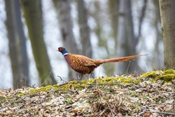 Male common pheasant walking in the autumn forest. Wild ring-necked pheasant cock (Phasianus colchicus) on the fallen leaves and green moss with blurred trees in the background.