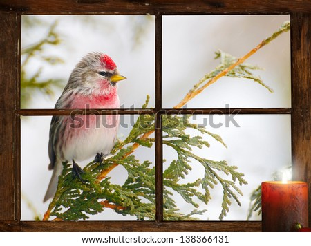 Male common redpoll perched outside in the snow in front of  tiny farm house window, looking at a pretty Christmas candle burning on the inside windowsill.  Part of a series.