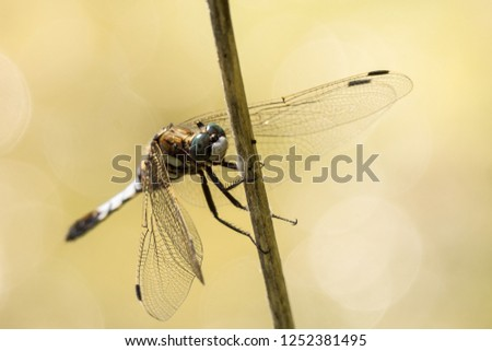 Male common whitetail or white-tailed skimmer (Orthetrum albistylum) on the steles