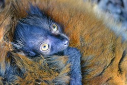 Male cub of a black lemur sitting on her mother's back, zoo eclosure