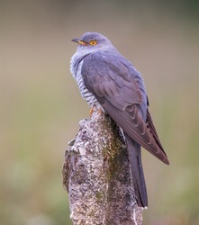 Male Cuckoo in the UK