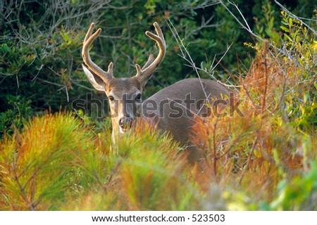 Male Deer in Dune Brush on Kiawah Island, South Carolina