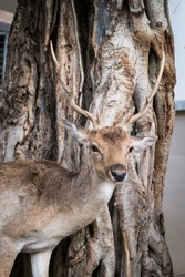Male deer with beautiful antler