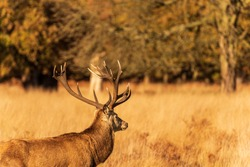 Male deer with long horns looking into the distance as he stands in long yellow grass with Autumn leaves lit up by the sun in the background.