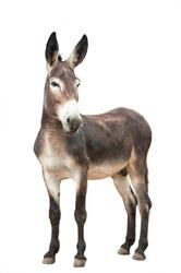 male donkey on white background