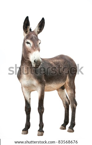 male donkey on white background