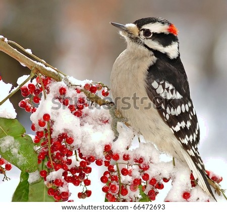 Male Downy Woodpecker (Picoides pubescens).  Male Downy Woodpecker perched on a snowy branch full of bright red berries