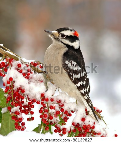 Male Downy Woodpecker (Picoides pubescens) on a snowy branch laden with bright red berries.