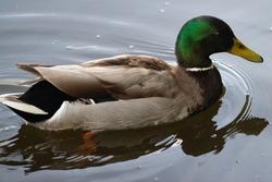Male duck swims in the water, Dutch wildlife photography, bird photo, Dutch nature, Anatidae