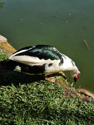 Male duck, very beautiful, living in his space in a city park. These birds inhabit bodies of water, such as the banks of rivers, lakes, swamps and swamps.
