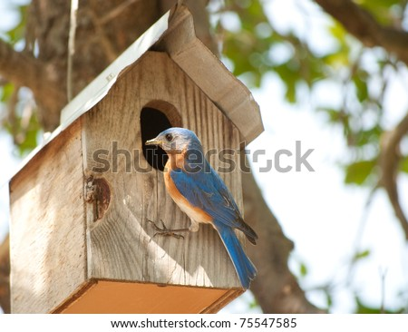 Male Eastern Bluebird at the doorway of his nest box