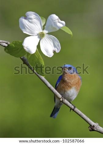 Male Eastern Bluebird on Branch with American Dogwood Flower