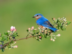 Male Eastern Bluebird Perched on Blossoming Branch