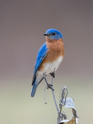 Male Eastern Bluebird Perched on Milkweed Stalk
