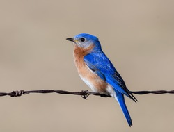 Male Eastern Bluebird Perched on Wire