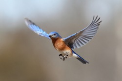 Male Eastern Bluebird (Sialia sialis) in flight