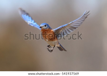 Male Eastern Bluebird (Sialia sialis) in flight #541937569