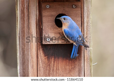 Male Eastern Bluebird (Sialia sialis) on a bird house