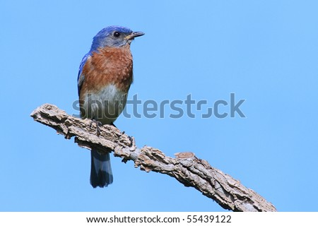 Male Eastern Bluebird (Sialia sialis) on a branch with a blue background