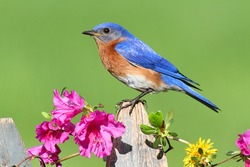 Male Eastern Bluebird (Sialia sialis) on a fence with Dandylion flowers and pink azalea flowers