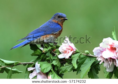 Male Eastern Bluebird (Sialia sialis) on a hibiscus bush