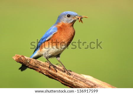 Male Eastern Bluebird (Sialia sialis) on a perch with worms and a green background