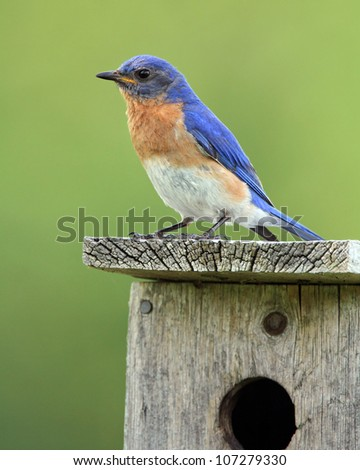 Male Eastern Bluebird (Sialia sialis) perched on a nest box