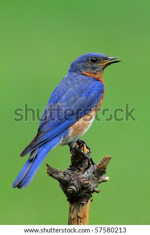 Male Eastern Bluebird (Sialia sialis) with a green background