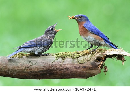 Male Eastern Bluebird (Sialia sialis) with his hungry baby